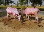 Indické farebné kravičky